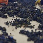 La Mejorada recogida de la uva